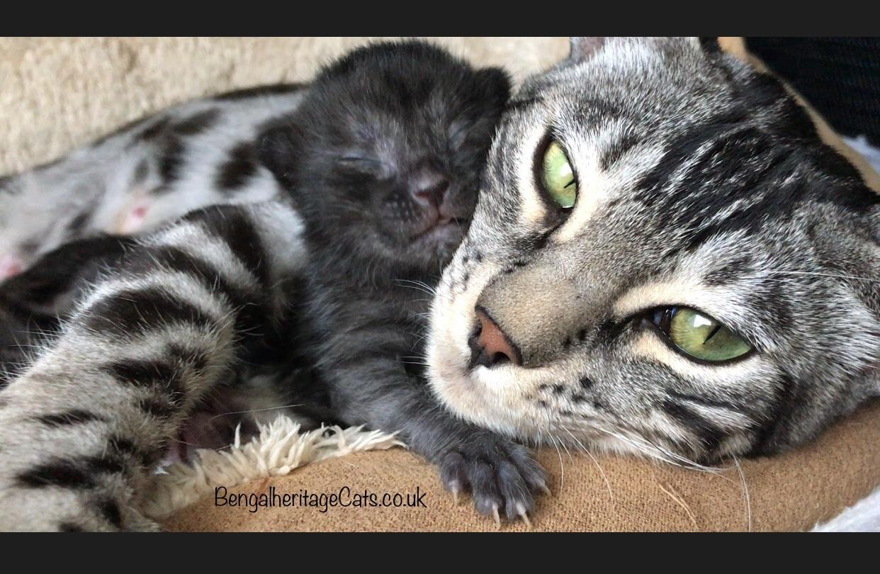 Kitten for Sale,Cats For Sale,Bengal Cat,Bengal Kitten,Black Cat,Bengal Kitten For Sale,Pedigree Cats,Kittens and Cats for Sale, Black Bengal Cat, Black Bengal Kitten, Black Bengal Kitten For Sale, Melanistic Bengal, Black Panther, Silver Smoke