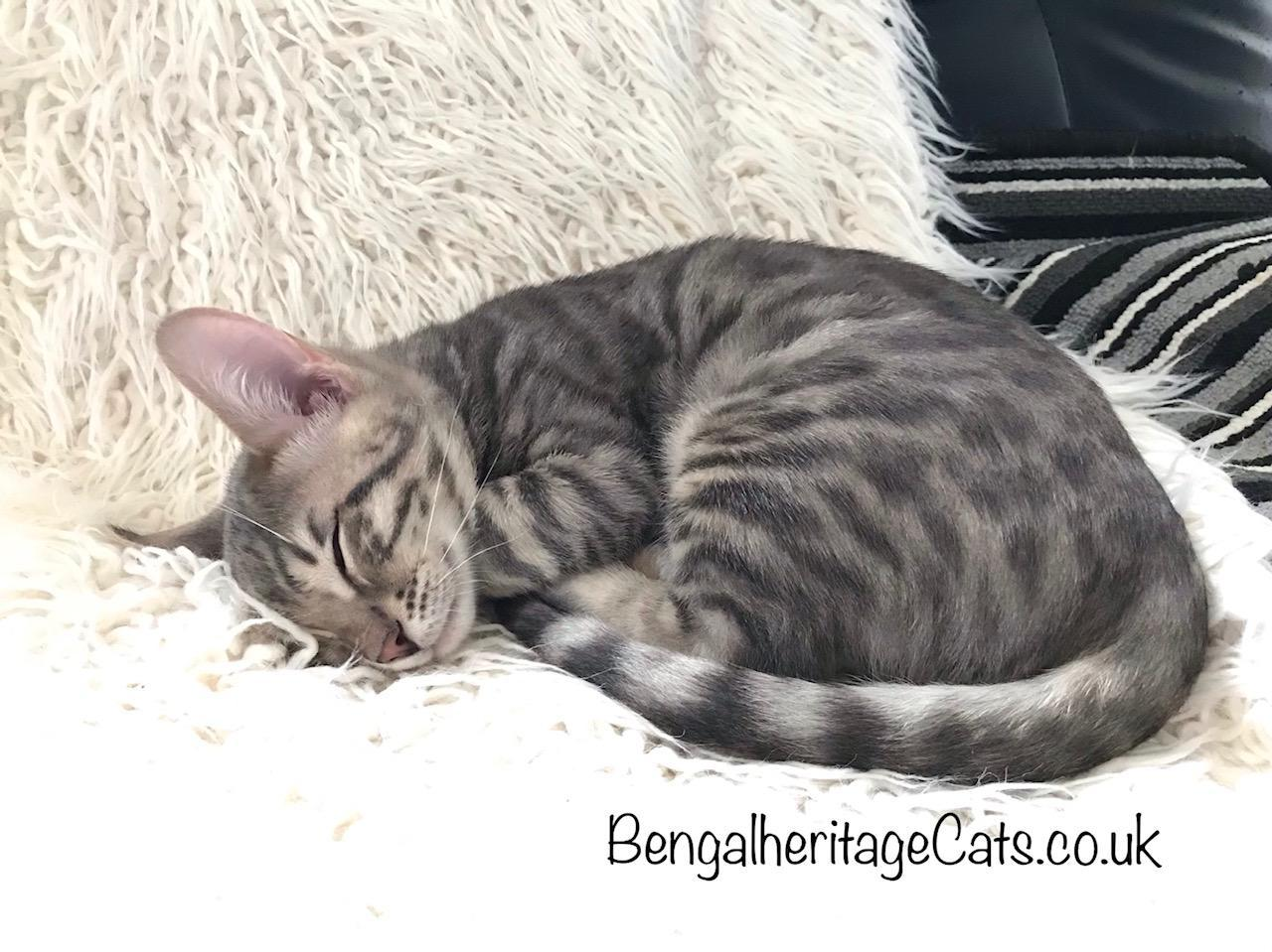 Bengal Cat,Blue Bengal Cat,Top Silver Bengal Cat, Silver Bengal Cat For Sale, Silver Bengal Kitten for Sale, Bengal Kitten for sale, Pedigree Cats, Price of Bengal, Most expensive Cats, Best Silver Bengal Cat, Top Quality Silver Bengal Cat.