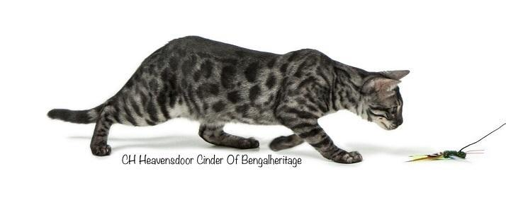 Bengal Cat, Silver Bengal Cat, Silver Charcoal Bengal, Silver Charcoal Stud, Silver Charcoal Bengal for Sale, Charcoal Bengals,