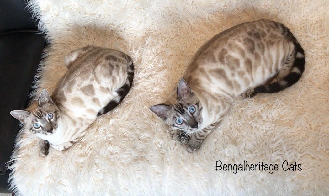 Silver Bengals, Silver Snow Bengals, Snow Leopard looking Bengals, Silver Snow Lynx Bengals, Blue eyed Bengals, Snowdon and Daenerys, Bengal Cats For Sale.The Punnet Square Calculator. Bengal Cat Genetics.