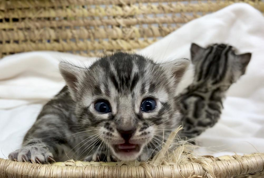 Bengal Kittens for Sale, Silver Bengal Kittens for Sale, Kittens for Sale