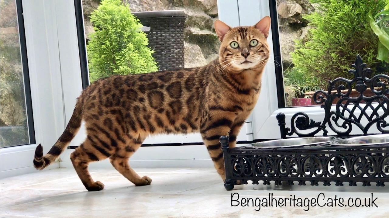 Bengal Cat, Brown Bengal Cat, Top Brown Bengal Cat, Brown Bengal Cat For Sale, Brown Bengal Kitten for Sale, Bengal Kitten for sale, Pedigree Cats, Price of Bengal, Most expensive Cats, Best Brown Bengal Cat, Top Quality Brown Bengal Cat.