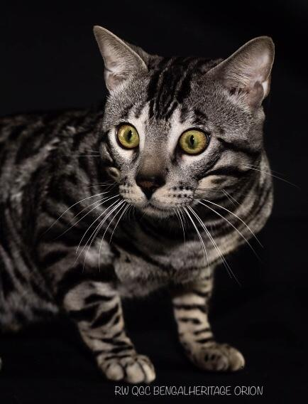 Bengal Cat, Silver Bengal Cat, Best Silver Bengal Cat, Defra Code of Practise for The Welfare of Cats, Wild Bengal Cat.Orion, RW QGC Bengalheritage Orion.