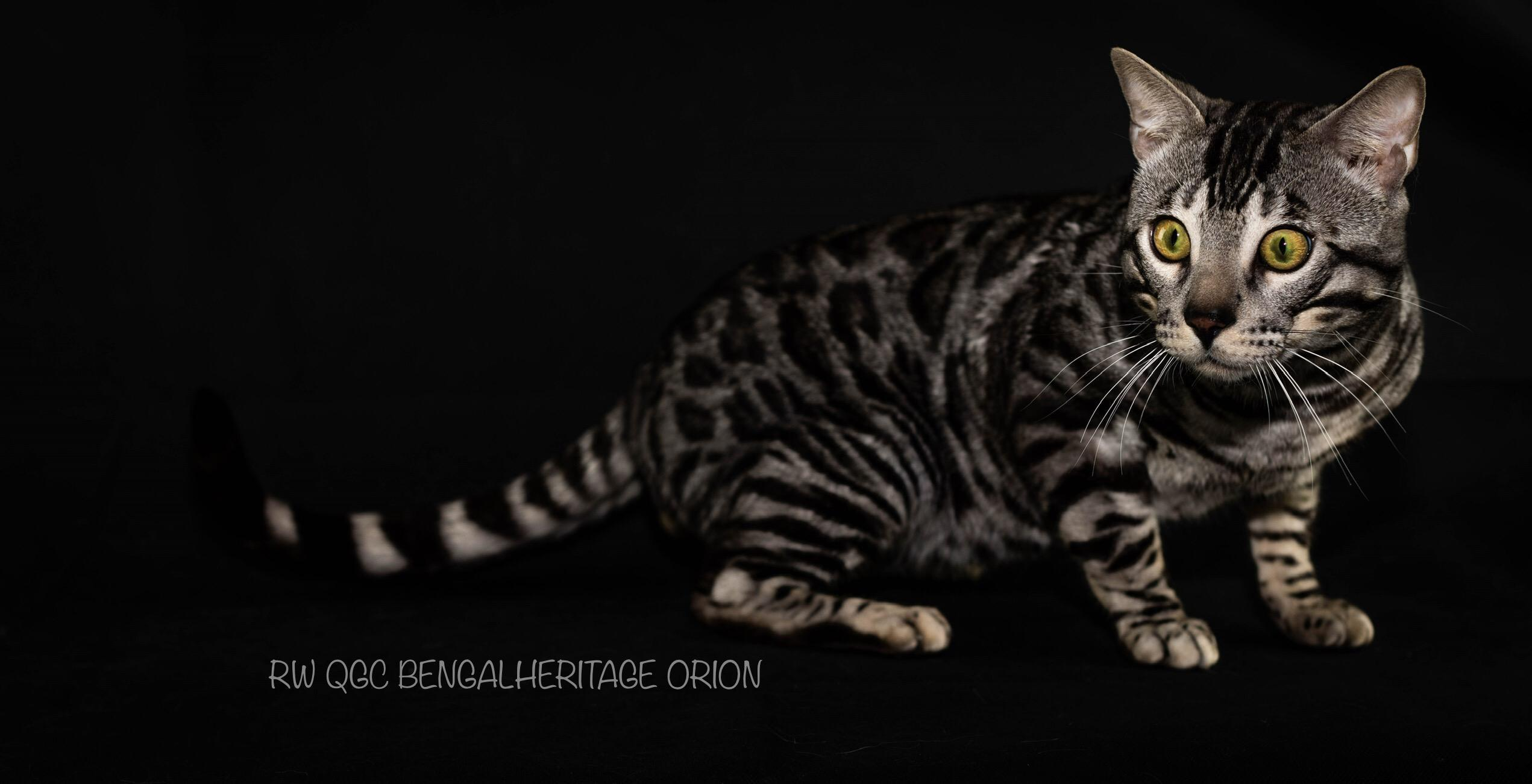 Silver Bengal Cat; Bengalheritage Cats; RW QGC Bengalheritage Orion; Silver Bengals; Silver Bengal Kitten and Cats for Sale;https://bengalheritagecats.co.uk/kittens