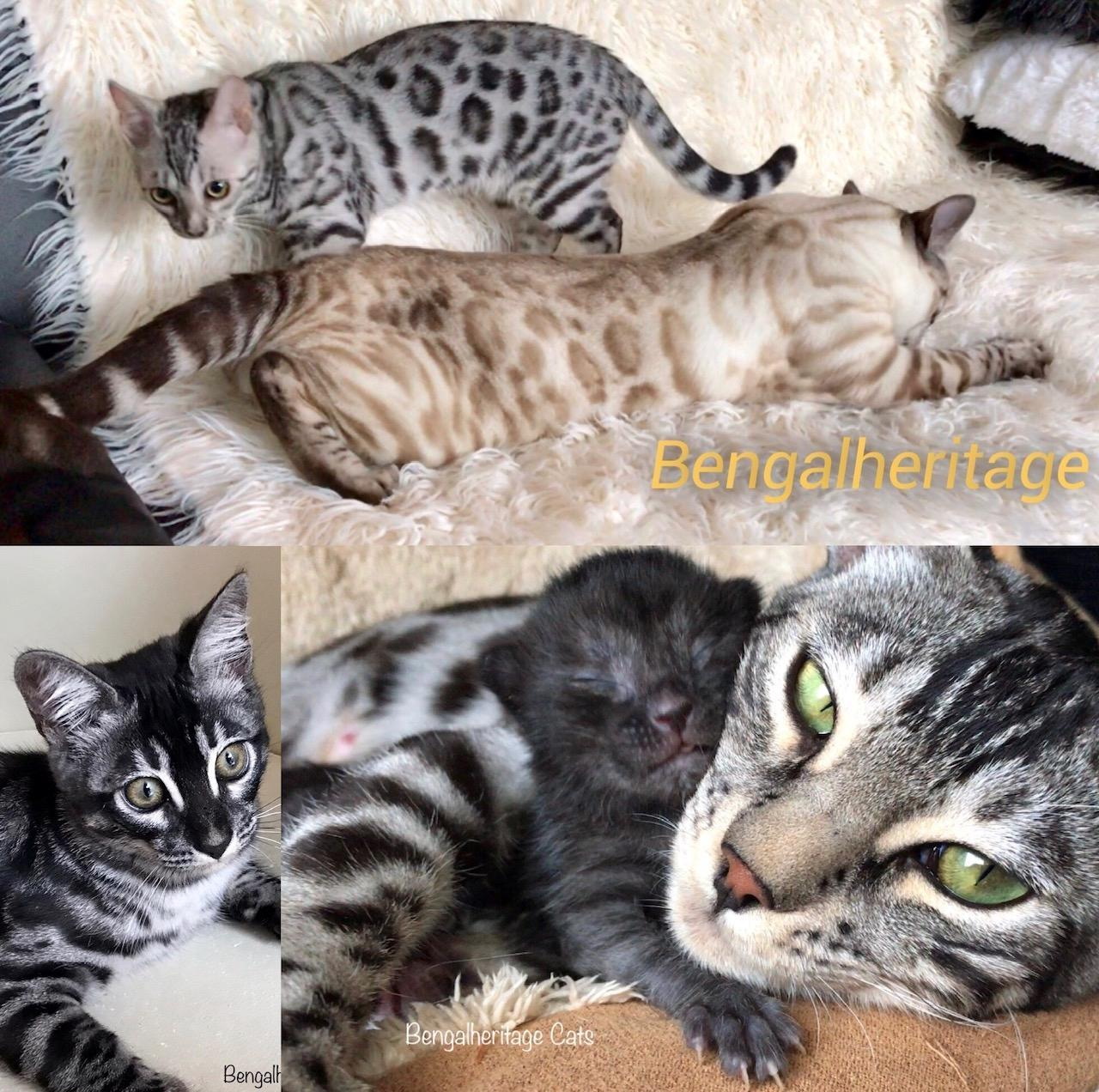 Silver Bengal Cats
