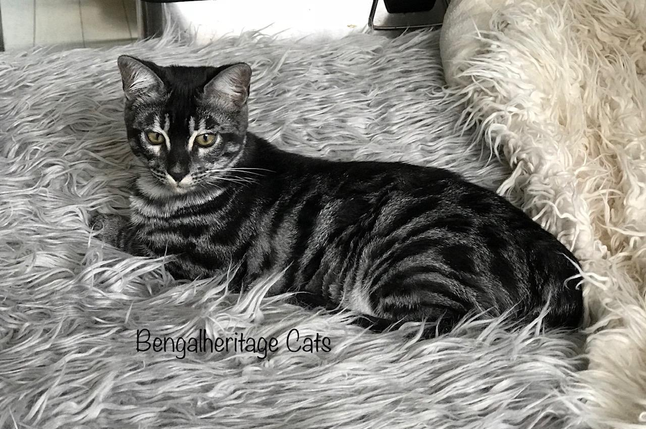 Bengal Cat, Silver Bengal, Silver Bengal Cat, Silver Charcoal Bengal, Silver Charcoal Bengal Cat, Silver Charcoal Bengal for Sale, Silver Charcoal Bengal Cat for Sale,Cat for Sale, Exotic Cat For Sale, Asian Leopard Cat Agouti, Bengal Facial Mask