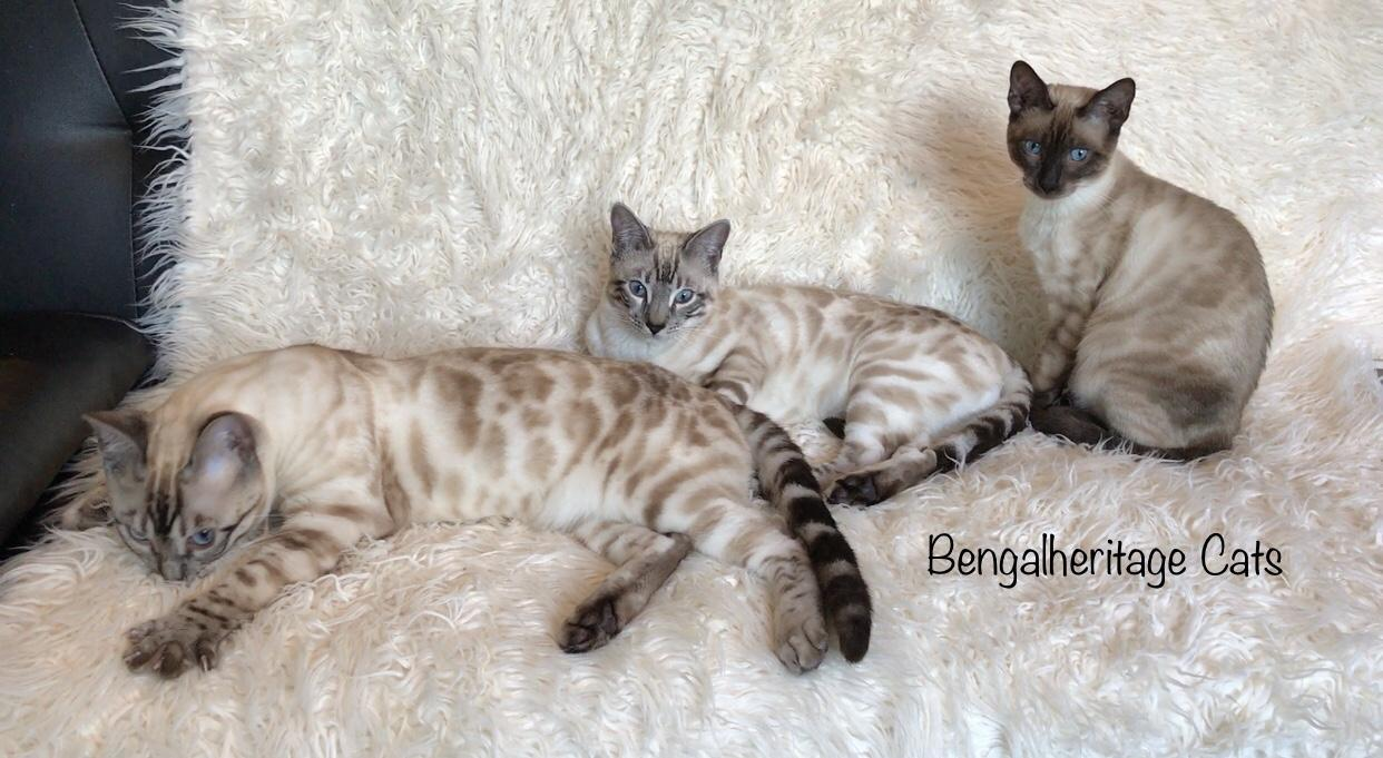 Bengal Cat, Silver Snow Bengals, Silver Seal Lynx Bengals, Snow Bengals, Snow Leopard, Snow Bengals for Sale, Cat for Sale