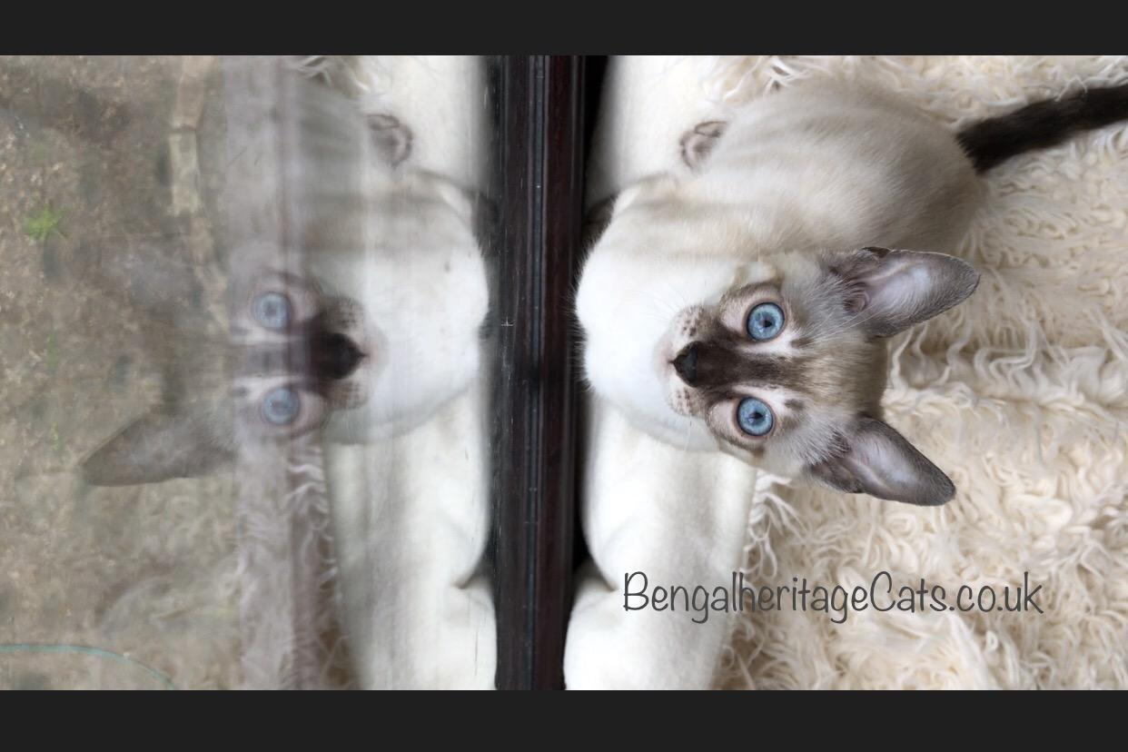 Kittens for Sale,Cats for Sale,Pedigree Cats for Sale,Bengal Cat, Bengal Kitten,Charcoal Bengal, Snow Charcoal Bengal Cat,Snow Charcoal Bengal Cat for Sale, Snow Charcoal Bengal Kitten, Snow Charcoal Bengal Kitten for Sale,Apb Bengals,ALC Agouti