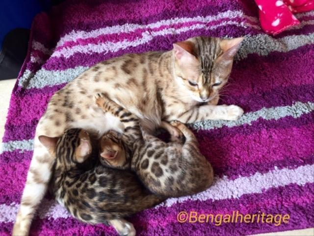 Reviews, Review Feedback from Bengal Parents,Review Feedback From Tania, Best Bengal Cattey in the UK, Best Bengal Cat Breeders, Reputable Bengal Cat Breders, Registered Bengal Cat Breeder in the UK, Top Bengal Cat Breeders.