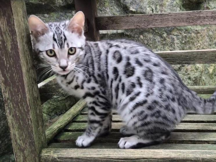 TJ Reynolds Review Feedback, Best Bengal Cat Breeder in the UK, Reviews on Bengalheritage Cats